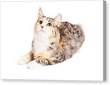 Adorable Calico Kitty Looking Up Canvas Print by Susan Schmitz