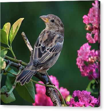 Adorable House Finch Canvas Print