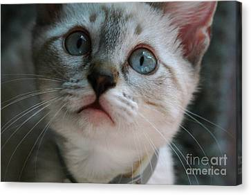 Canvas Print featuring the photograph Adorable Kitty  by Kim Henderson