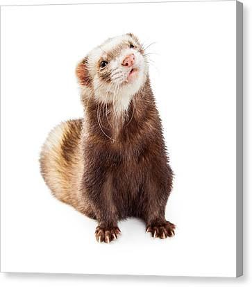 Adorable Pet Ferret Looking Up Canvas Print