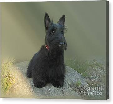 Adorable Scottie On The Rocks Scottish Terrier   Canvas Print by Heinz G Mielke