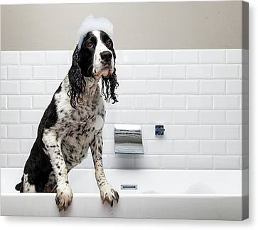Adorable Springer Spaniel Dog In Tub Canvas Print
