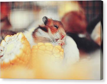 Adorable Tiny Hamster Pet Feasting On Corn Canvas Print