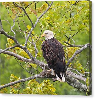 Canvas Print featuring the photograph Adult Bald Eagle by Debbie Stahre