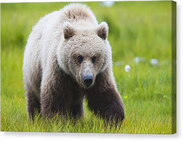 Adult Brown Bear Walking Amongst Canvas Print by Lorraine Logan