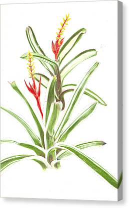 Aechmea Nudicaulis   Canvas Print by Penrith Goff