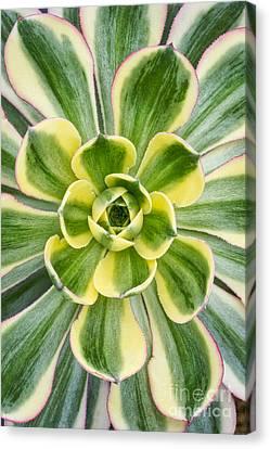 Aeonium Sunburst Canvas Print by Tim Gainey