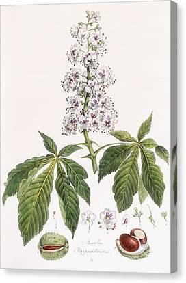 Aesculus Hippocastanum Canvas Print by German School