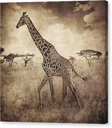 Africa Series - Giraffe Canvas Print by Brett Pfister