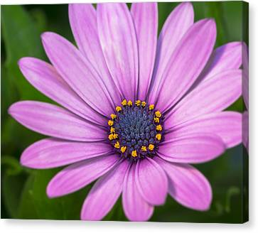 African Daisy Bloom   Canvas Print by SharaLee Art