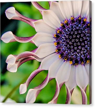 Canvas Print featuring the photograph African Daisy Squared by TK Goforth