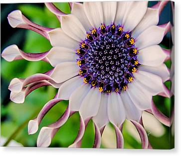 Canvas Print featuring the photograph African Daisy by TK Goforth
