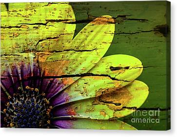 African Daisy With Style Canvas Print