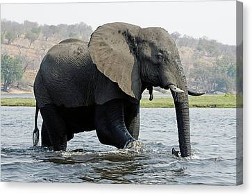African Elephant - Bathing Canvas Print by Robert Shard