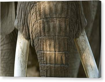 Henry Doorly Zoo Canvas Print - African Elephant At The Omaha Zoo by Joel Sartore