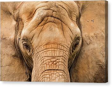 Pittsburgh Zoo Canvas Print - African Elephant by Don Johnson