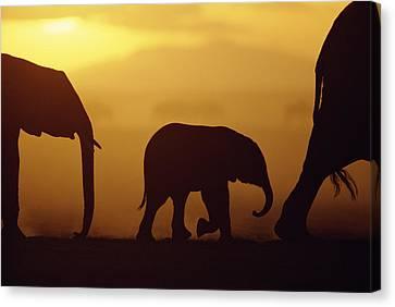 Threatening Canvas Print - African Elephant Loxodonta Africana by Karl Ammann