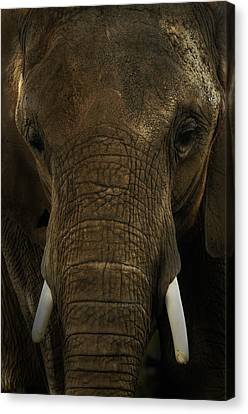 Canvas Print featuring the photograph African Elephant by Michael Cummings