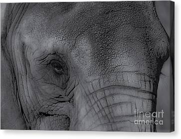 African Elephant One Eye View Black And White Canvas Print