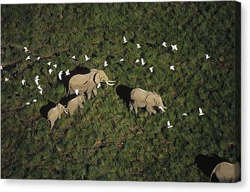 African Elephant Parents And Two Calves Canvas Print by Tim Fitzharris