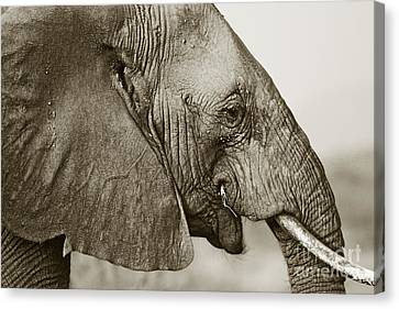 African Elephant Profile  Duotoned Canvas Print