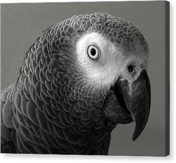 African Gray Canvas Print by Sandi OReilly
