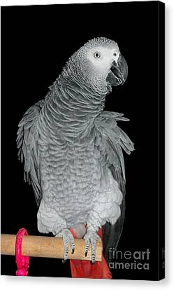 Canvas Print featuring the photograph African Grey Parrot by Debbie Stahre