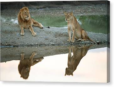 African Lion And Lioness Panthera Leo Canvas Print by Panoramic Images