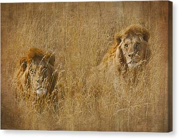 African Lion Brothers Canvas Print
