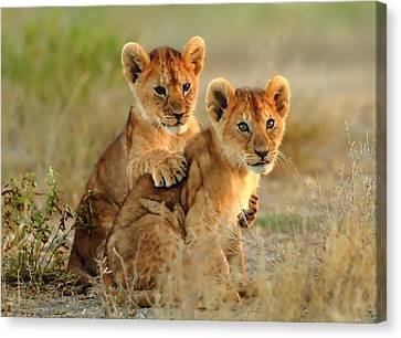 African Lion Cubs Canvas Print by Maciek Froncisz