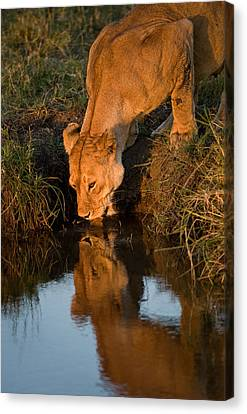 African Lion Panthera Leo Drinking Canvas Print by Panoramic Images