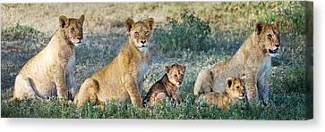 African Lion Panthera Leo Family Canvas Print