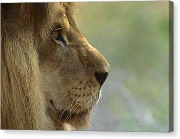 African Lion Panthera Leo Male Portrait Canvas Print by Zssd