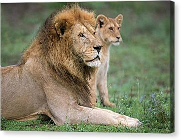African Lion Panthera Leo With Its Cub Canvas Print by Panoramic Images
