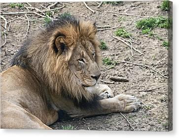 African Lion Canvas Print by Tom Mc Nemar