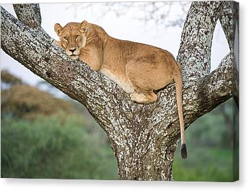 African Lioness Panthera Leo Resting Canvas Print
