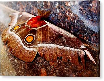 African Moth 02 Canvas Print by Dora Hathazi Mendes