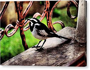 African Pied Wagtail Canvas Print by Dora Hathazi Mendes