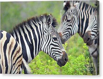 African Safari Zebras Canvas Print