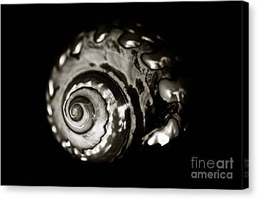 African Turbo Shell - Sepia Tone Canvas Print by Charmian Vistaunet