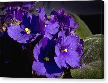 Canvas Print featuring the photograph African Violets by Phyllis Denton