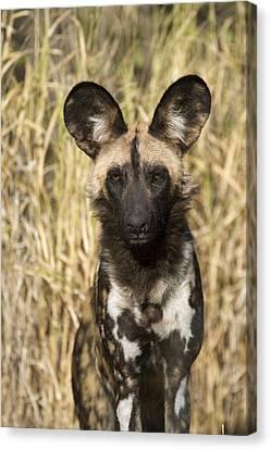 African Wild Dog Okavango Delta Botswana Canvas Print by Suzi Eszterhas