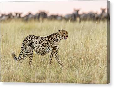 Cheetah Canvas Print - After by Khaleel Nadoum