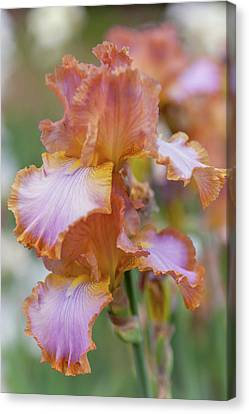 Afternoon Delight 2. The Beauty Of Irises Canvas Print