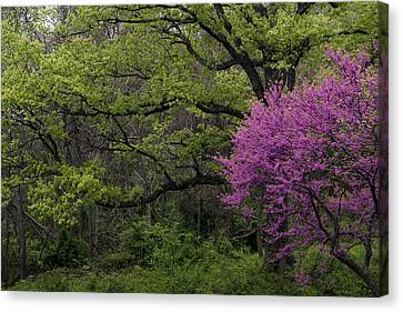 Afton Virginia Spring Red Bud Canvas Print by Kevin Blackburn