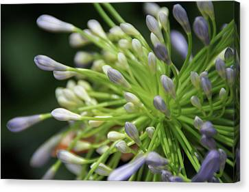 Canvas Print featuring the photograph Agapanthus, The Spider Flower by Yoel Koskas
