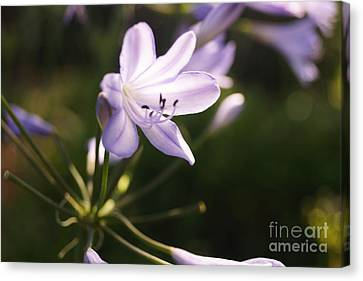 Canvas Print featuring the photograph Agapanthus by Cassandra Buckley