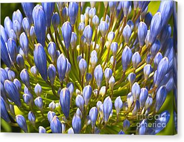 Canvas Print - Agapanthus In Fireworks by Joy Watson