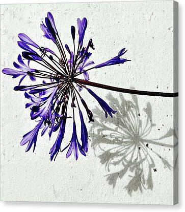 Agapanthus Canvas Print by Julie Gebhardt