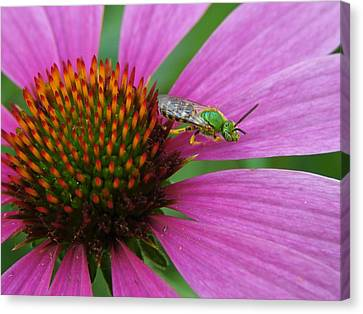 Agapostemon Canvas Print by Carl Moore
